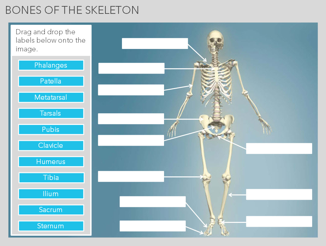 Bones And Joints Of The Human Body Elearning Marketplace