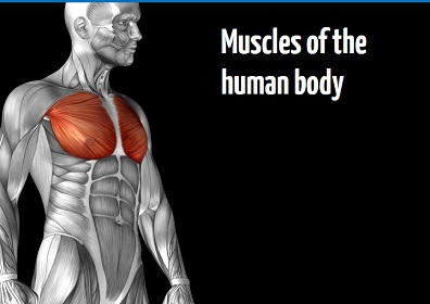 Muscles of the human body online training