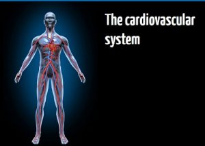 The cardiovascular system online training